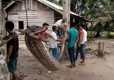 Homem vence luta com cobra gigante na Indonésia