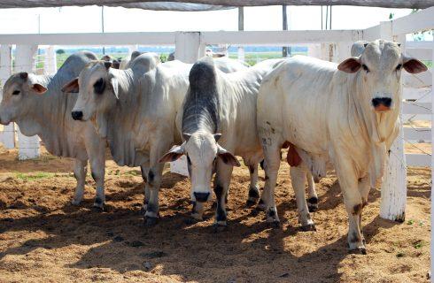 Tocantins mantém a campanha de vacinação contra febre aftosa em maio