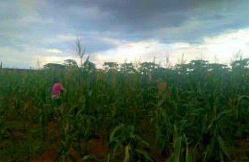 Reeducandas da Unidade Prisional Feminina de Talismã colhem milho plantado em atividade de ressocialização