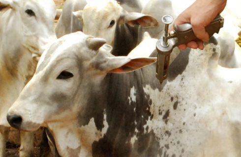 Tocantins registra índice vacinal acima de 99% em primeira etapa da Campanha Contra a Febre Aftosa